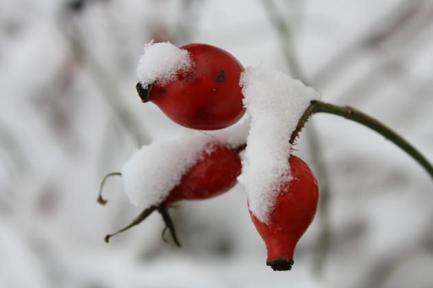 Hagebutte_Schnee
